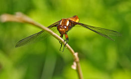 Colourful dragonfly on a straw Stock Images