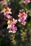 Colourful Erysimum kwiaty Zdjęcia Stock
