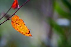 Colourful eucalyptus leaf in the Australian bush back lit by the sun royalty free stock photos