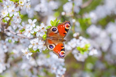 Colourful European Peacock butterfly Inachis io, on a flowering Royalty Free Stock Photo
