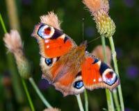 Colourful Europejski Pospolity Pawi motyl Aglais io Fotografia Royalty Free