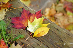 Colourful Fall Leaves. On a nice day royalty free stock images
