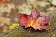 Colourful Fall Leaves. On a nice day royalty free stock photography