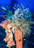 Colourful feather stars on a shipwreck Royalty Free Stock Photos