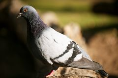 Feral Pigeon. Colourful Feral Pigeon out in nature during the day royalty free stock photos