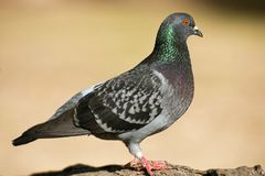 Feral Pigeon. Colourful Feral Pigeon out in nature during the day stock photography