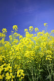 Colourful field of rapeseed Stock Images