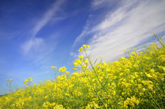 Colourful field of rapeseed Royalty Free Stock Photos