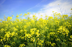 Colourful field of rapeseed Royalty Free Stock Images