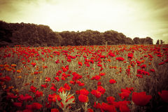 Colourful field with red wild flowers at misty sunset Royalty Free Stock Images