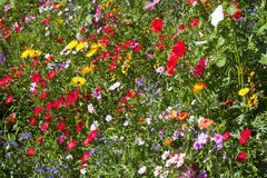 Colourful field of wild flowers. Field of summer wild flowers including daisies and poppy, very colourful, yellow, green, blue, red, colours Stock Image