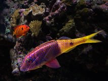 Colourful fish. Colourful tropical  fish like this angelfish (ULC) and goatfish have substantially boosted the pet industry saltwater aquarium trade,  test space Stock Photography