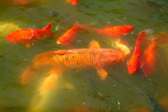 Colourful fish. In park of china Stock Photography