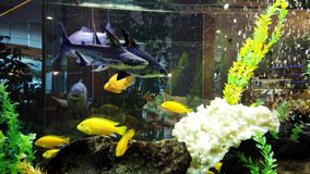 Colourful Fish in Large Fish Tank. Colourful small fish swimming in a large rectangular fish  tank. Relaxing, soothing and calming to watch pets swim in bubbles stock footage