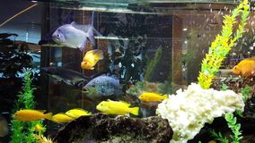 Colourful Fish in Large Fish Tank. Colourful small fish swimming in a large rectangular fish  tank. Relaxing, soothing and calming to watch pets swim in bubbles stock video footage