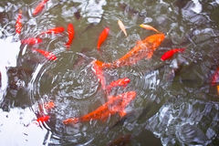 Colourful fish in the pond. Colourful fish in the garden pond royalty free stock photos