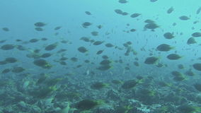 Colourful Fish Swim By A Coral Reef. Mindelo, Cape Verde stock footage
