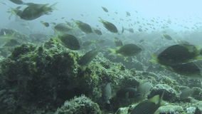 Colourful Fish Swim By A Coral Reef. Mindelo, Cape Verde stock video