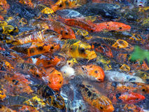 Colourful fish try to get food