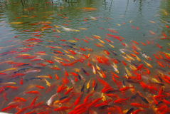 Colourful fishes in the water Royalty Free Stock Photography