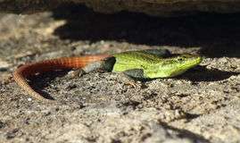 Colourful Flat lizard Royalty Free Stock Photos