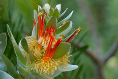 Colourful flower. Beautiful colourful protea family in Botanical Garden Stock Photography
