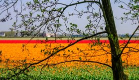 Colourful flower fields near Keukenhof Gardens, Lisse, South Holland. Photographed in HDR high dynamic range. Colourful flower fields with rows of orange and stock photography