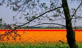 Colourful flower fields near Keukenhof Gardens, Lisse, South Holland. Photographed in HDR high dynamic range. Colourful flower fields with rows of orange and stock photo