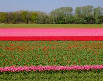 Colourful flower fields near Keukenhof Gardens, Lisse, South Holland. Photographed in HDR high dynamic range. Colourful flower fields with rows of pink and red stock photography