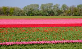 Colourful flower fields near Keukenhof Gardens, Lisse, South Holland. Photographed in HDR high dynamic range. Colourful flower fields with rows of pink and red stock photos