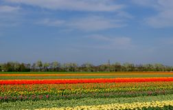 Colourful flower fields near Keukenhof Gardens, Lisse, South Holland. Photographed in HDR high dynamic range. Colourful flower fields with rows of orange royalty free stock photography