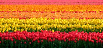 Flower fields with rows of colourful tulips near Keukenhof Gardens, Lisse, South Holland. Photographed in HDR high dynamic range. Colourful flower fields with stock photo