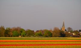 Flower fields with rows of colourful tulips near Keukenhof Gardens, Lisse, South Holland. Photographed in HDR high dynamic range. Colourful flower fields with stock photos