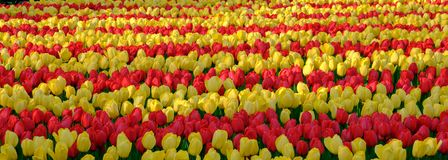 Flower fields with rows of colourful tulips near Keukenhof Gardens, Lisse, South Holland. Photographed in HDR high dynamic range. Colourful flower fields with royalty free stock photos