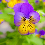 Colourful flower pansy royalty free stock images