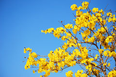 Colourful flower. Yellow flower and bright sky along the way to Phayao, Thailand Royalty Free Stock Photos