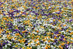 Colourful flowerbed made of white, orange and purple pansies Stock Photo