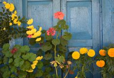 Colourful flowers against painted blue doors Stock Images