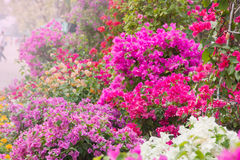 Colourful flowers decorative in the garden Royalty Free Stock Photo