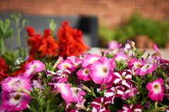 Colourful flowers on my patio royalty free stock photography