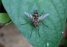 Colourful fly on a leaf. Found in the tropical jungle Royalty Free Stock Photo