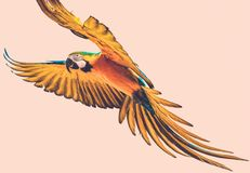 Colourful flying parrot. Colourful beautiful flying parrot toned Stock Photography