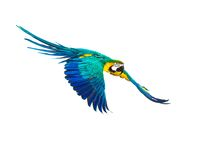 Colourful flying parrot. Isolated on white Stock Images