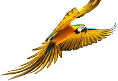 Colourful flying parrot stock images