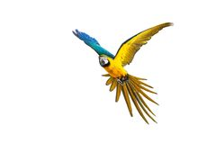Colourful flying parrot. Isolated on white Stock Photography