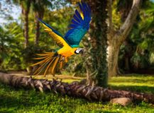 Colourful flying parrot. In tropical landscape Stock Photos