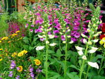Colourful foxgloves Royalty Free Stock Photo