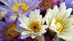 Colourful fragrant waterlilly Royalty Free Stock Image