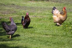 Chickens. 3 colourful free range chickens strutting around royalty free stock photos