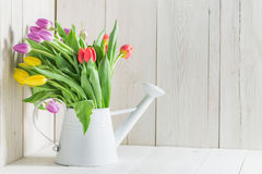 Colourful fresh tulip in white watering can Stock Photography